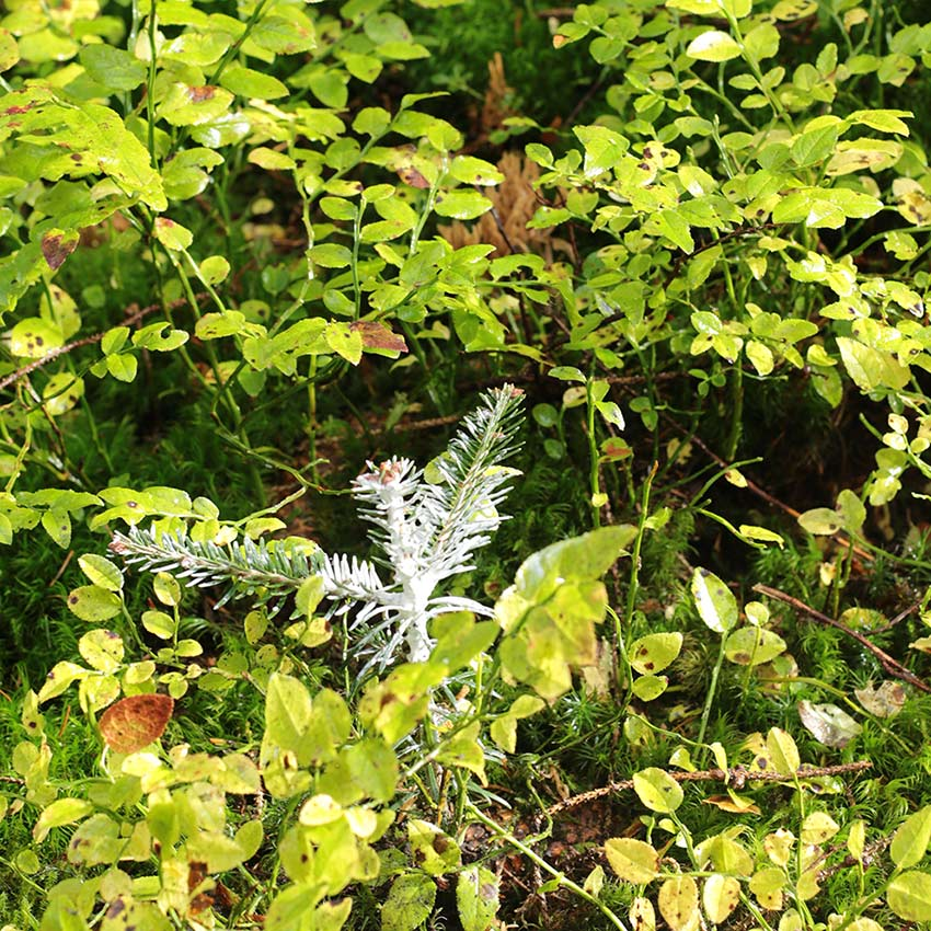Tanne im Wald - Rohholz Plant Trees