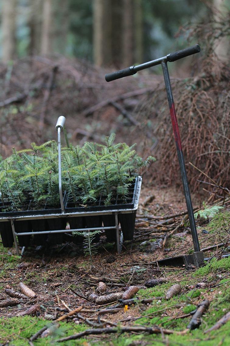 Wir pflanzen Weisstanne im Erzgebirge!